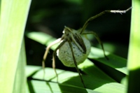 Grass spider with large egg sac