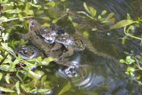 Frogs April 2016 [242579]