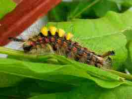 vapourer-moth-caterpillar