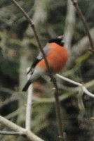 bullfinch male 1[3803]
